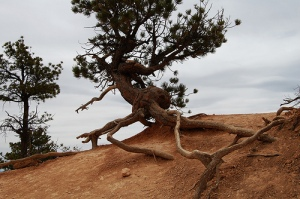gnarled pine tree in sand