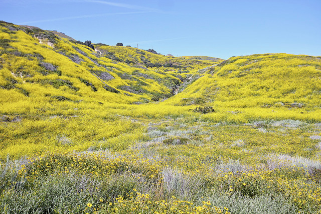 Hills covered in yellow wild mustard flowers.